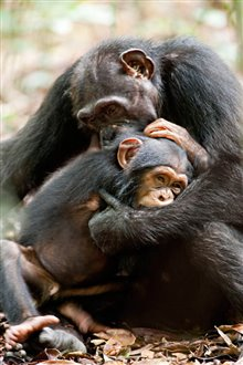 Chimpanzee photo 23 of 29