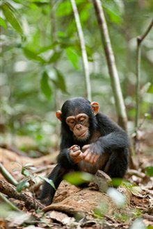 Chimpanzee photo 24 of 29