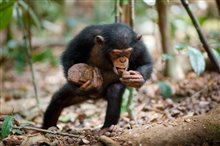 Chimpanzee Photo 4