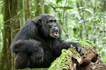 Chimpanzee Photo 8