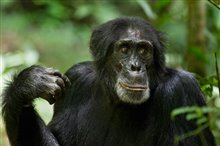 Chimpanzee photo 10 of 29