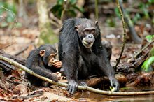 Chimpanzee Photo 12