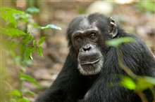 Chimpanzee Photo 16