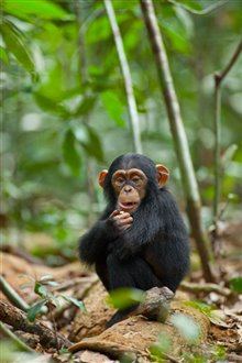 Chimpanzee Photo 26