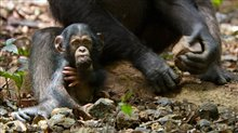 Chimpanzee Photo 20