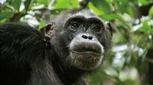 Chimpanzee Photo 22