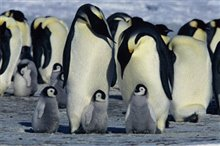 March of the Penguins Photo 12