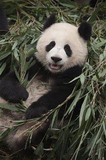 Pandas Photo 16