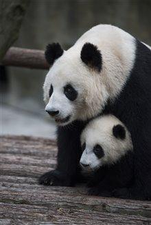 Pandas Photo 27