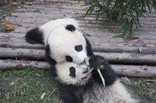 Pandas Photo 13