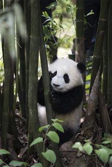 Pandas Photo 30