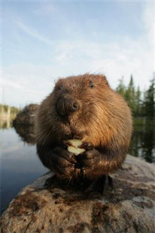 White Tuft, The Little Beaver Photo 8 - Large