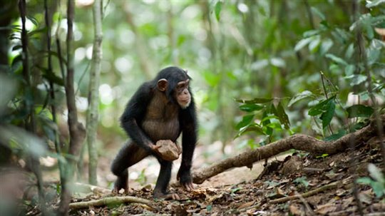 Chimpanzee Photo 2 - Large
