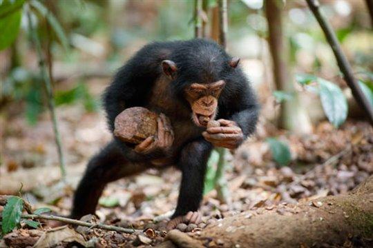 Chimpanzee Poster Large