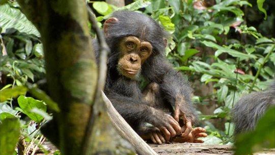 Chimpanzee Photo 14 - Large