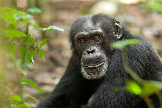 Chimpanzee Photo 16 - Large