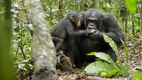 Chimpanzee Photo 18 - Large