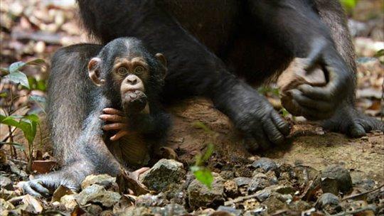 Chimpanzee Photo 20 - Large