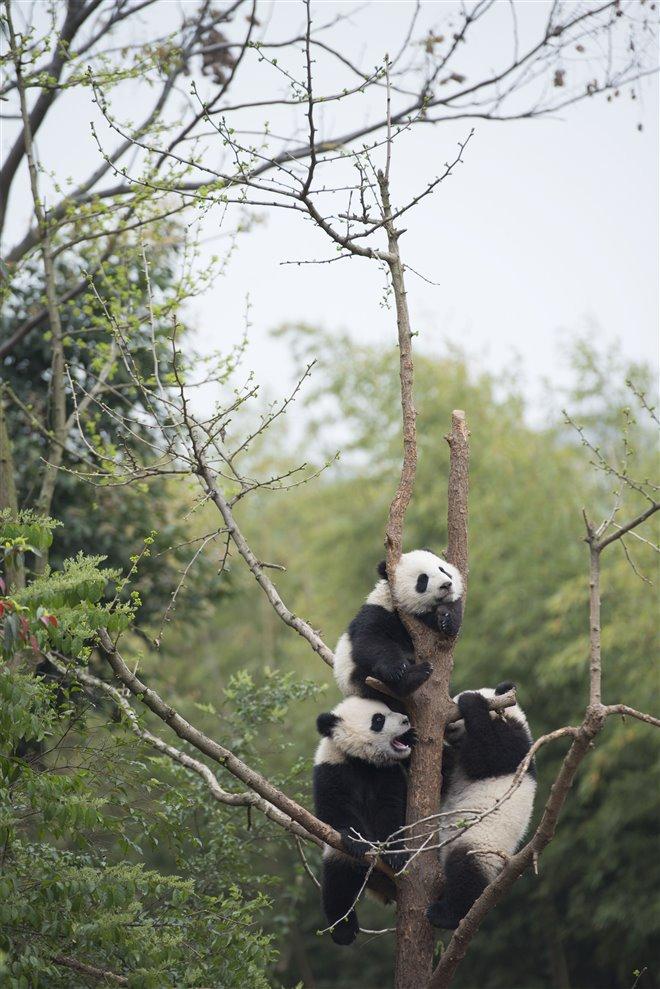 Pandas Photo 18 - Large