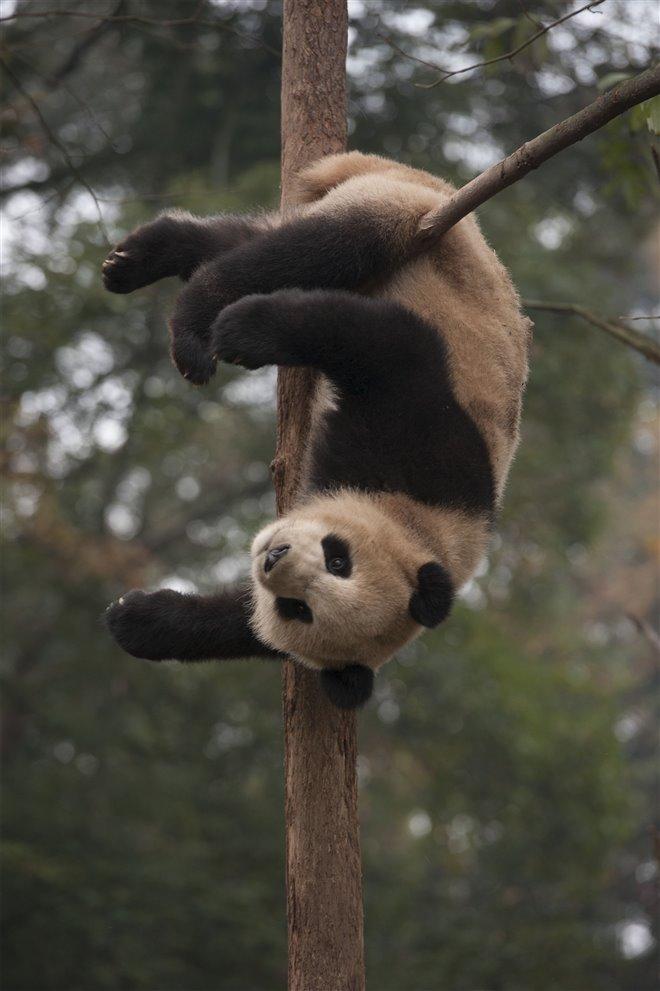Pandas Photo 20 - Large