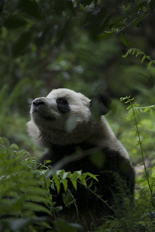 Pandas Photo 22 - Large