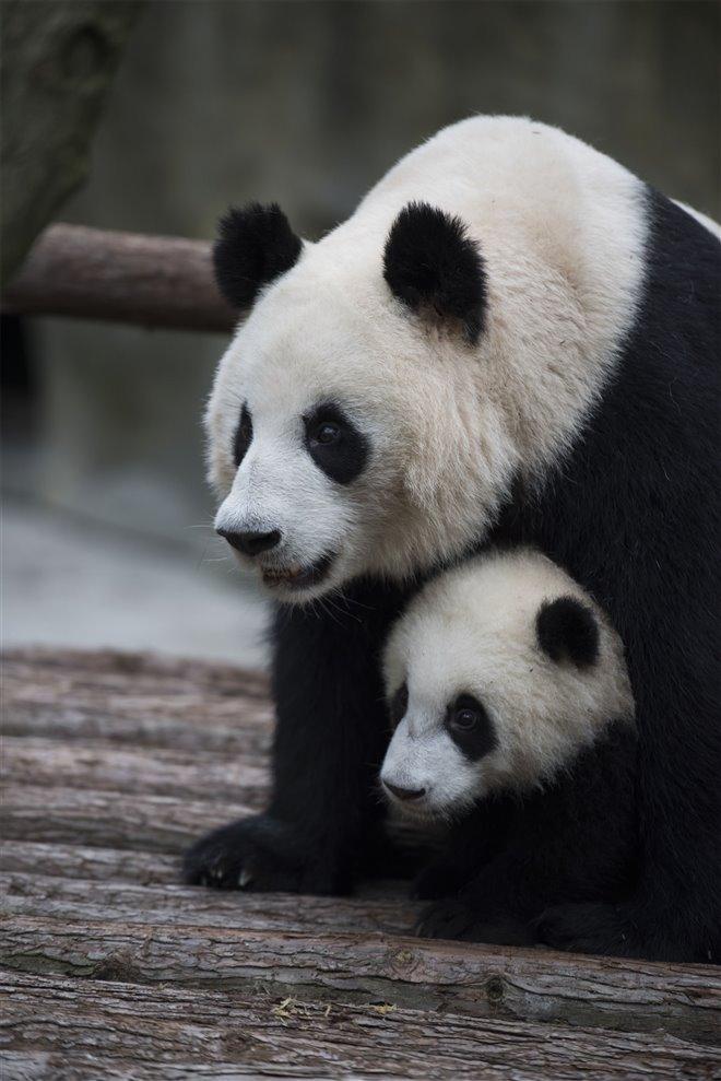 Pandas Photo 27 - Large