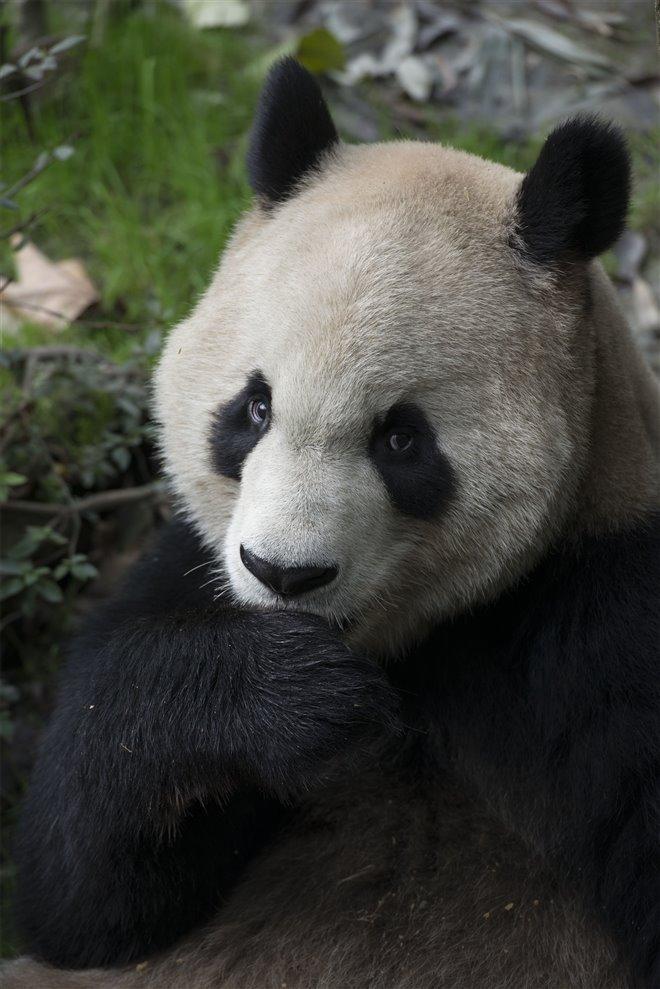 Pandas Photo 28 - Large