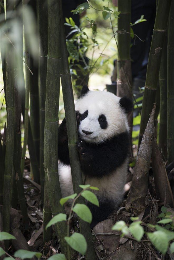Pandas Photo 30 - Large