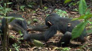 chimpanzee Video Thumbnail