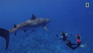 WORLD'S BIGGEST TIGER SHARK? Clip Video Thumbnail